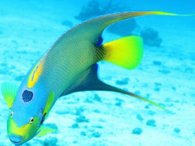 Queen Angelfish (Holacanthus Ciliaris), Paradise Reef by Dan Herrick