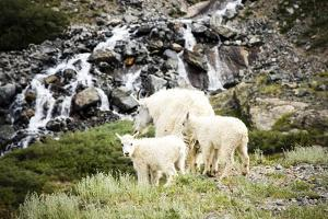 A Mountain Goat and Her Two Offspring Walk across a Mountain Meadow, Mt Quandary, Colorado by Dan Holz