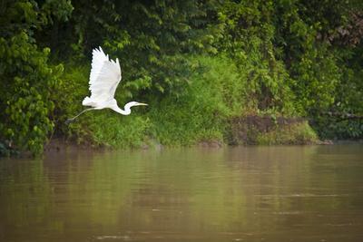 A White Egret Takes Flight in Sukau - Borneo, Malaysia