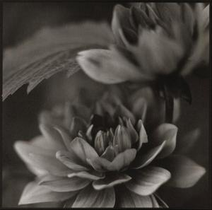 Water Lily II by Dana Buckley