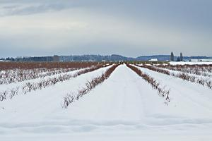 Berries under Snow I by Dana Styber