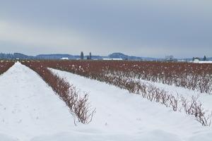 Berries under Snow II by Dana Styber