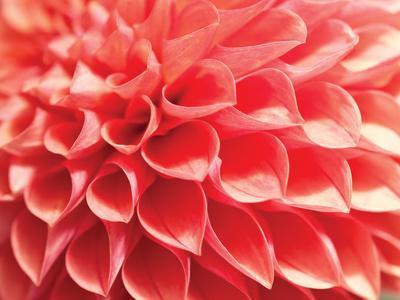 Coral Funnel Dahlia