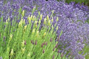 Flowing Lavender I by Dana Styber
