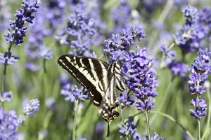 Lavender and Butterfly II by Dana Styber