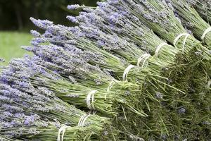 Lavender Bunches II by Dana Styber