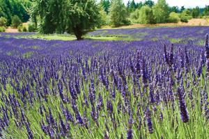 Lavender Field I by Dana Styber