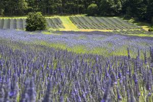 Lavender Field II by Dana Styber