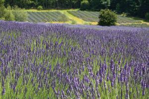Lavender Field III by Dana Styber