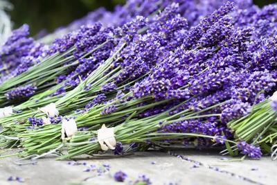 Lavender Harvest II