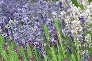Lavender Sway II by Dana Styber