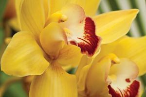 Lemon Orchid II by Dana Styber