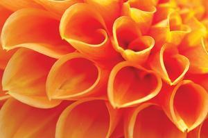 Orange Funnel Dahlia by Dana Styber