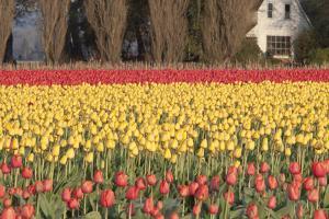 Red and Orange Tulips by Dana Styber