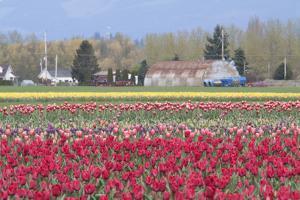 Red Tulip Farm by Dana Styber