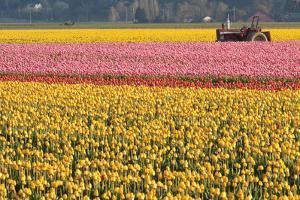 Tractor and Tulips I by Dana Styber