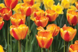 Tulip March I by Dana Styber