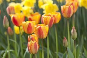 Tulip March II by Dana Styber
