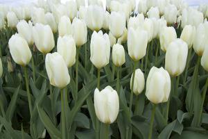 White Tulips I by Dana Styber