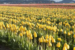 Yellow and Orange Tulips II by Dana Styber
