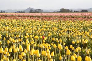 Yellow and Orange Tulips III by Dana Styber