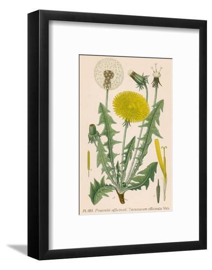 Dandelion French : Pissenlit--Framed Giclee Print