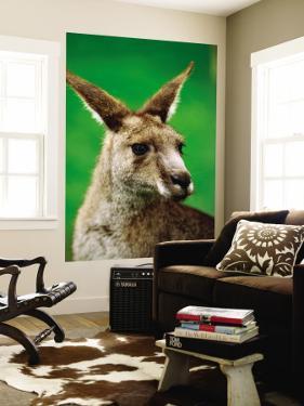 Portrait of an Eastern Grey Kangaroo by Daniel Boag