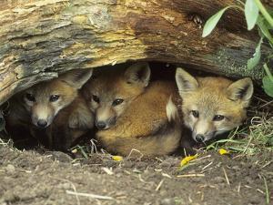 Red Fox Kits Huddled at Den Entrance by Daniel Cox