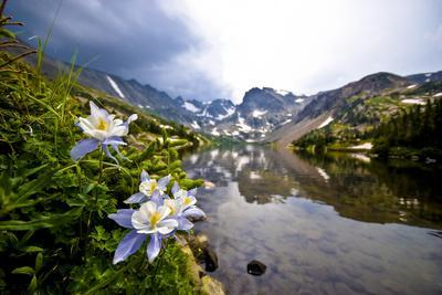 Colorado Columbines Blooming in Early July with Spring Run Off, Indian Peaks Rocky Mountains