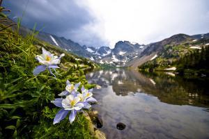 Colorado Columbines Blooming in Early July with Spring Run Off, Indian Peaks Rocky Mountains by Daniel Gambino