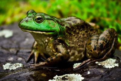 Fat Bull Frog Lords over Connecticut Water