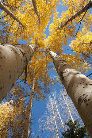 San Juan Aspen Trees Turning Color in Colorado