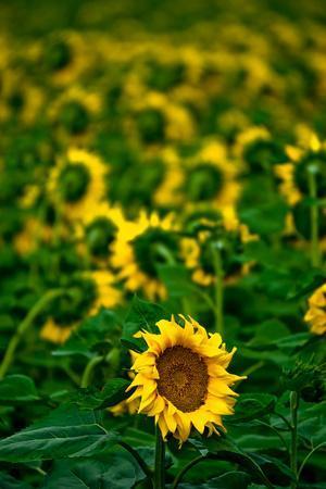 Sunflower Farm Along I25 Outside of Fort Collins at Dusk