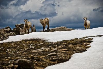 Three Young Sheep on Mt Evans, Colorado Playing in the Snow