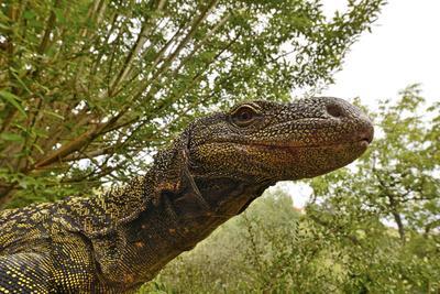Crocodile monitor (Varanus salvadorii) portrait, captive, occurs in New Guinea