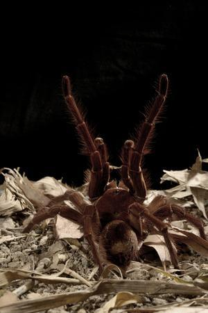 Goliath Bird-Eating Spider (Theraphosa Leblondii - Blondi) Aggressive Display