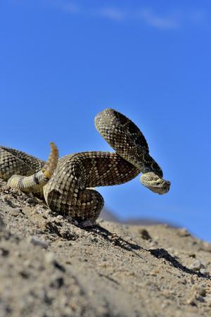 Mojave Rattlesnake (Crotalus Scutulatus) Mojave Desert, California, June
