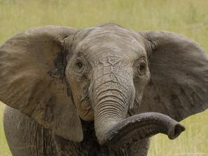African Elephant, Portrait of Young Elephant, Kenya, Africa by Daniel J. Cox