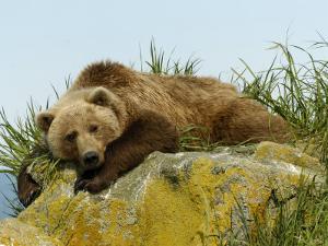 Alaskan Brown Bear, Alaska, USA by Daniel J. Cox