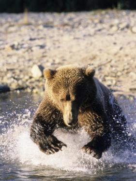 Alaskan Brown Bear, Large Male Catching Salmon in Water, Alaska by Daniel J. Cox