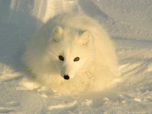 Arctic Fox, Along the Ice Edge of Hudson Bay, Manitoba, Canada by Daniel J. Cox
