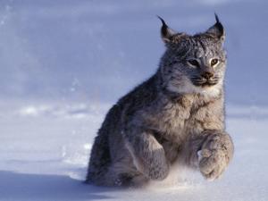 Canada Lynx (Lynx CanadensIs) Running Through Snow by Daniel J. Cox
