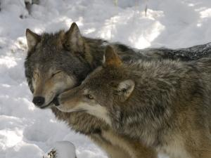 Gray Wolf, Two Captive Adults Kissing, Montana, USA by Daniel J. Cox