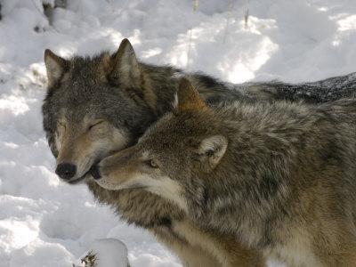 Gray Wolf, Two Captive Adults Kissing, Montana, USA