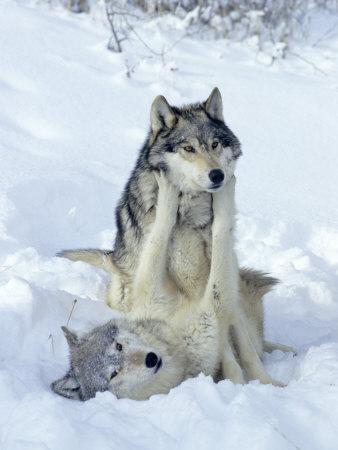 Gray Wolves, Show of Dominance Among Pack, Montana