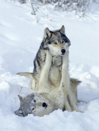 Gray Wolves, Show of Dominance Among Pack, Montana by Daniel J. Cox