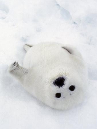 Harp Seal, Pup in Favorite Position on Its Back on Ice Pack, Nova Scotia, Canada