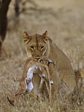 Lion, Lioness with Baby Impala Kill, Kenya, Africa by Daniel J. Cox
