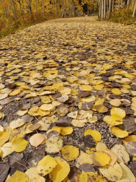 Path Covered with Bright Yellow Colored Apsen Leaves During Fall, USA by Daniel J. Cox