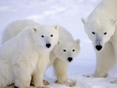 Polar Bears, Mother and Young, Manitoba, Canada